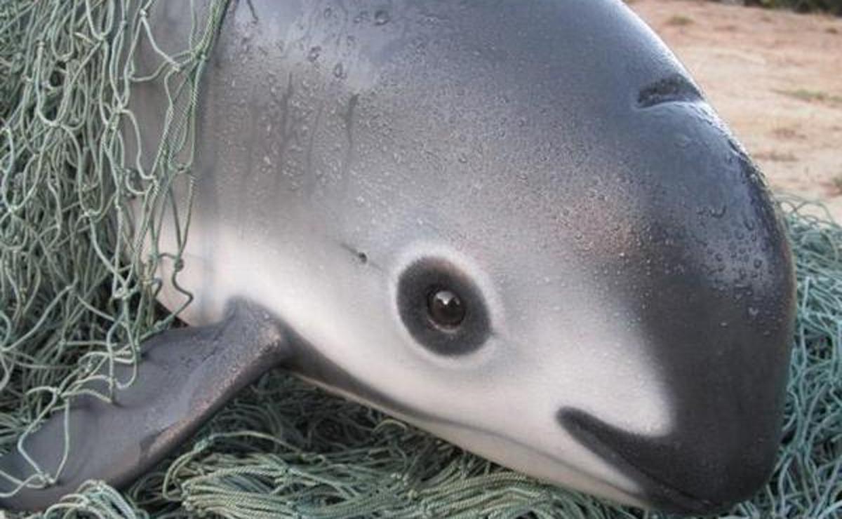 Image result for Vaquita porpoise