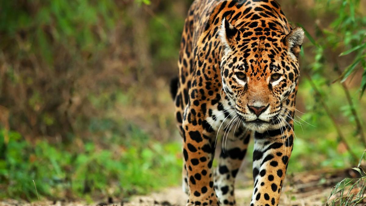 Jaguar >> The Jaguar A Cultural Icon Of America Wild For Life