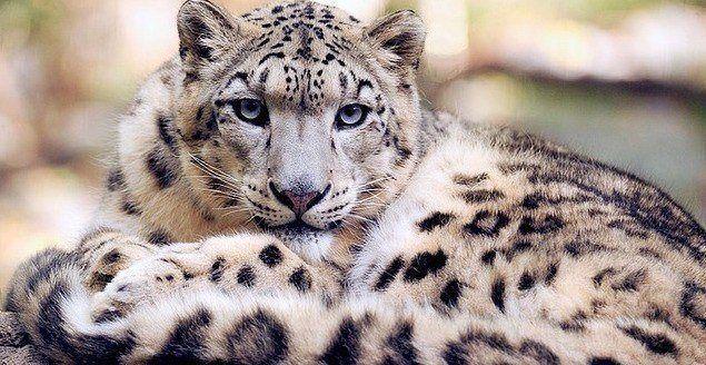 Resultado de imagem para leopardo da neve