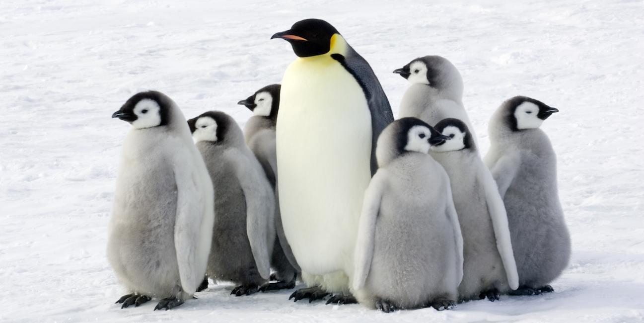 Пінгвіни дуже кмітливі